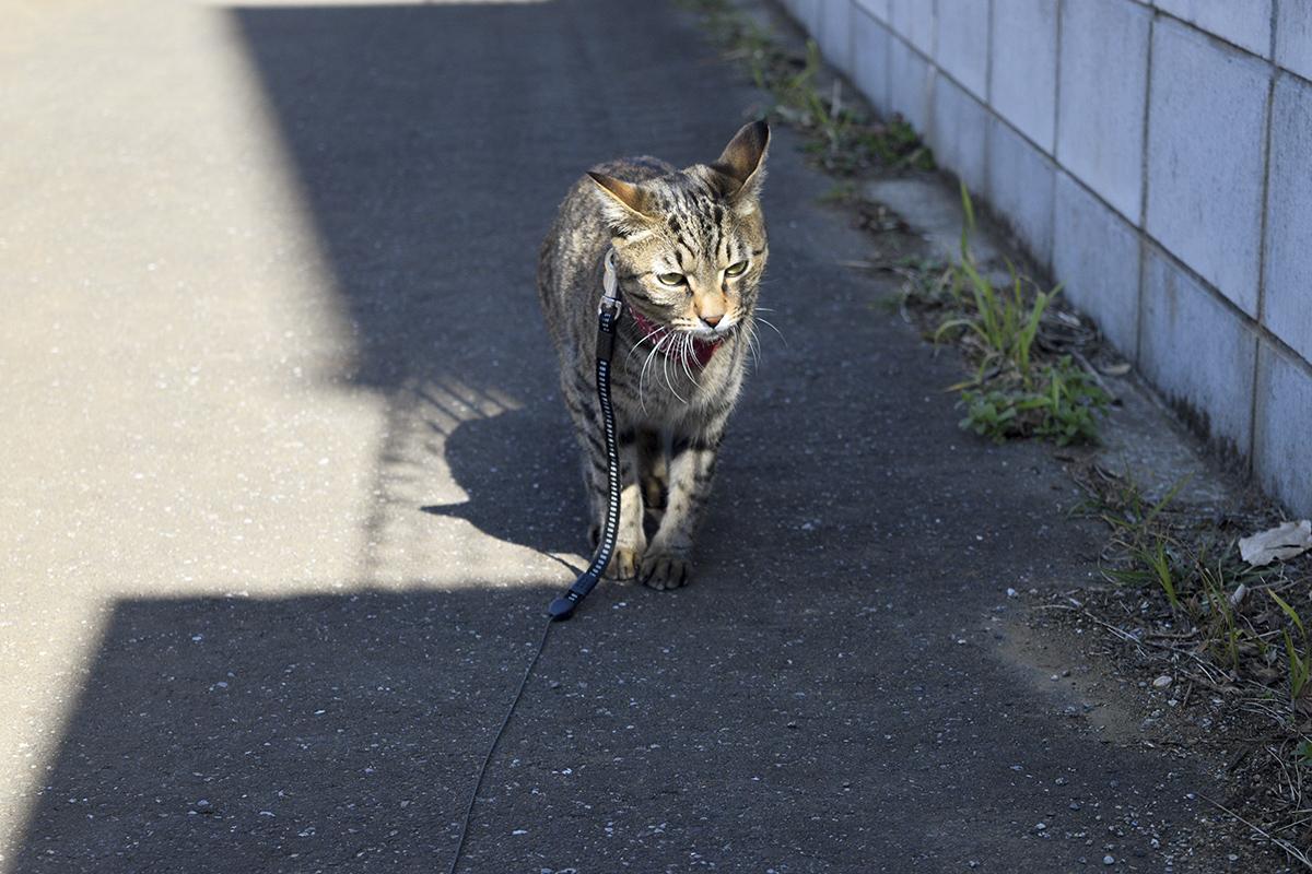 ふてくされるキジトラ猫の虎ノ介