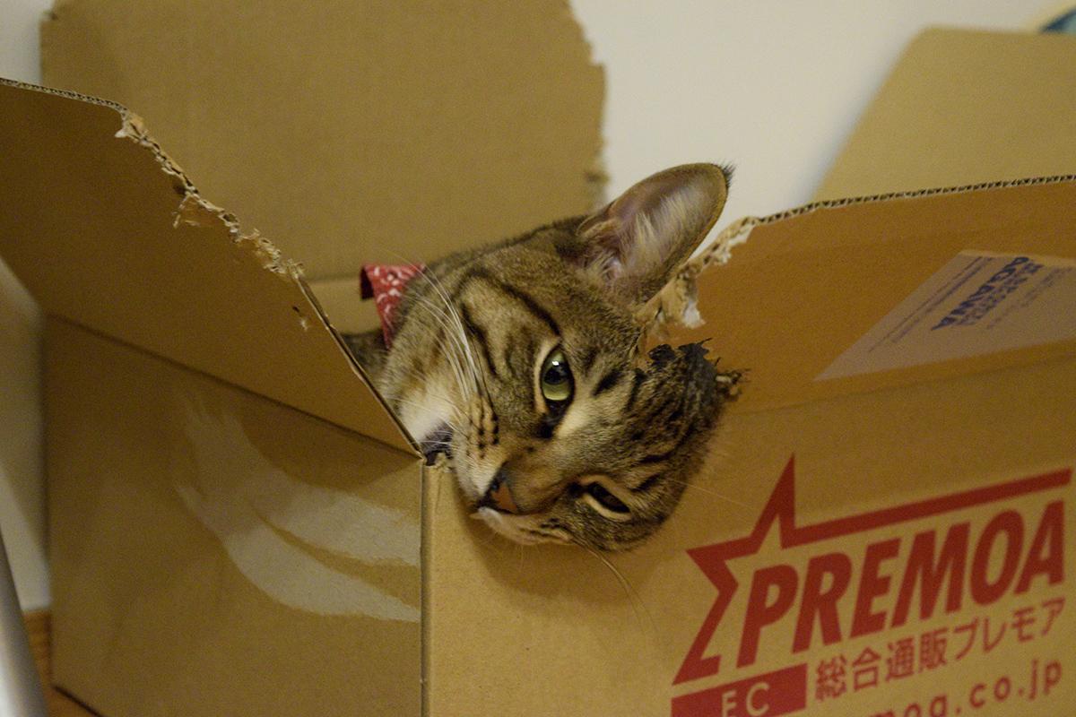 箱にかぶりつくキジトラ猫の虎ノ介