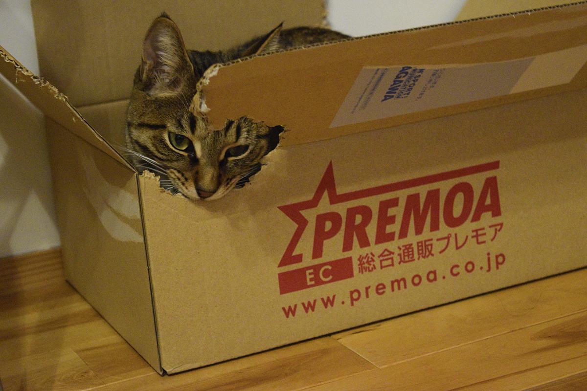 微調整するキジトラ猫の虎ノ介