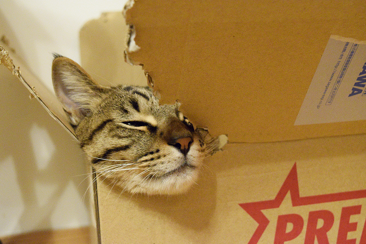 箱にあごをのせて眠るキジトラ猫の虎ノ介