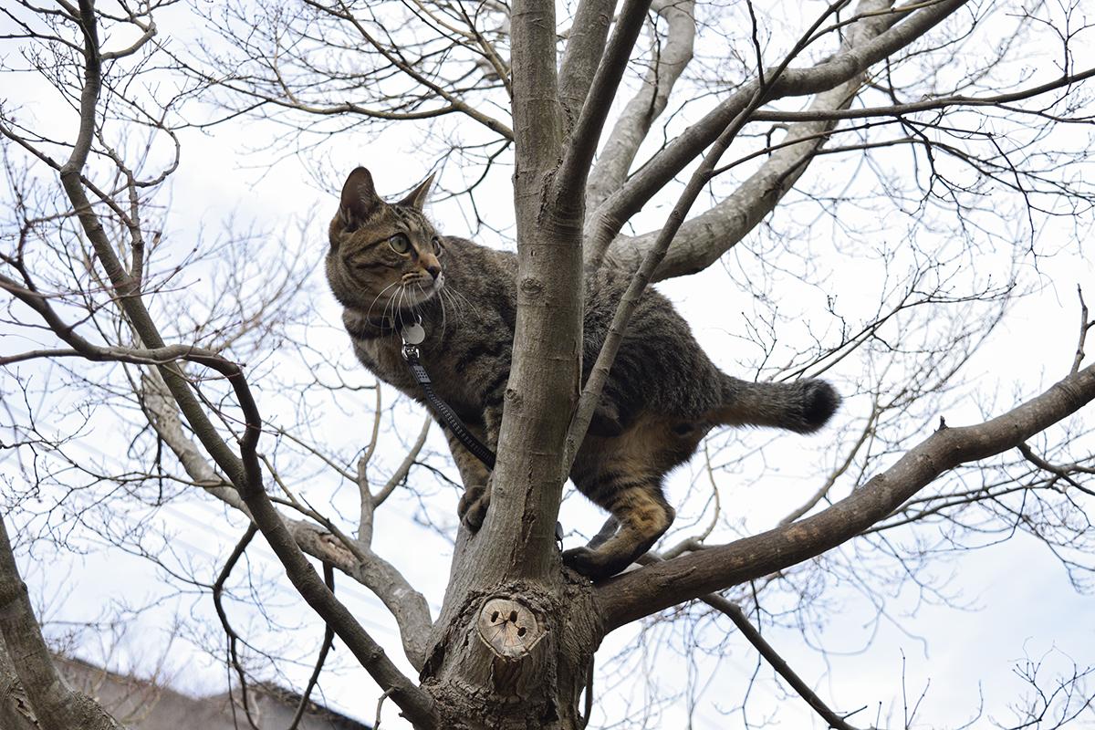 木から景色を眺めるキジトラ猫の虎ノ介