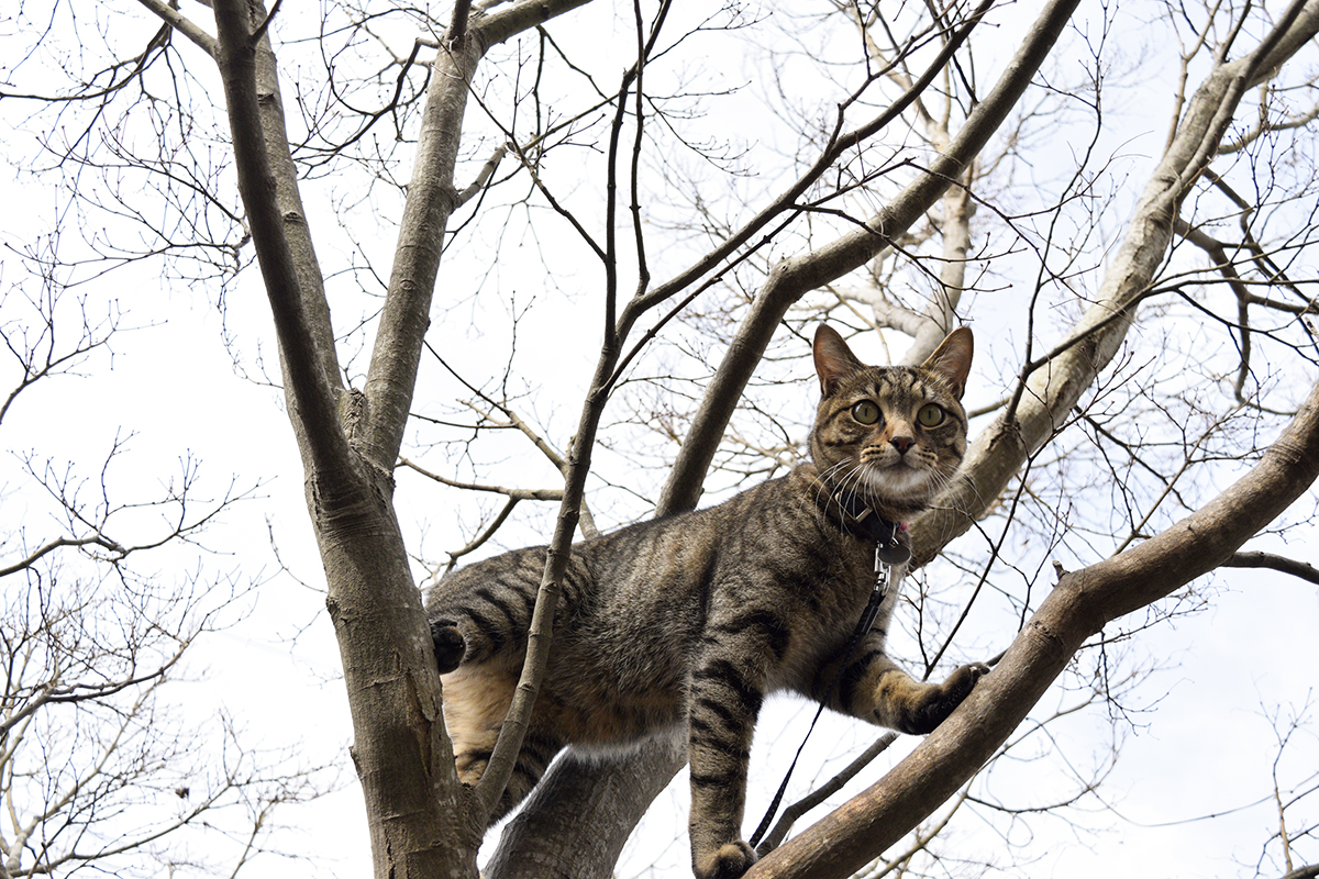 木からおろしてもらうのを待つキジトラ猫の虎ノ介