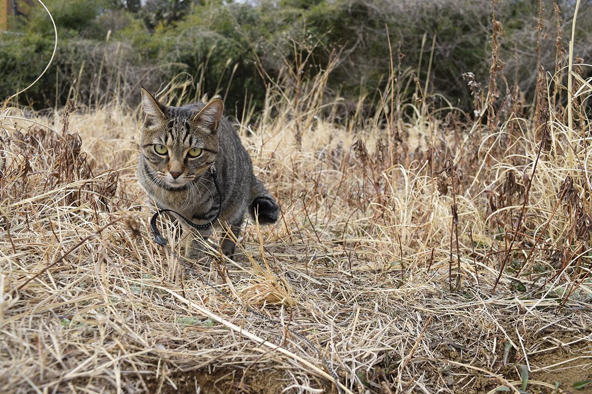 草むらでおいかけっこするキジトラ猫の虎ノ介