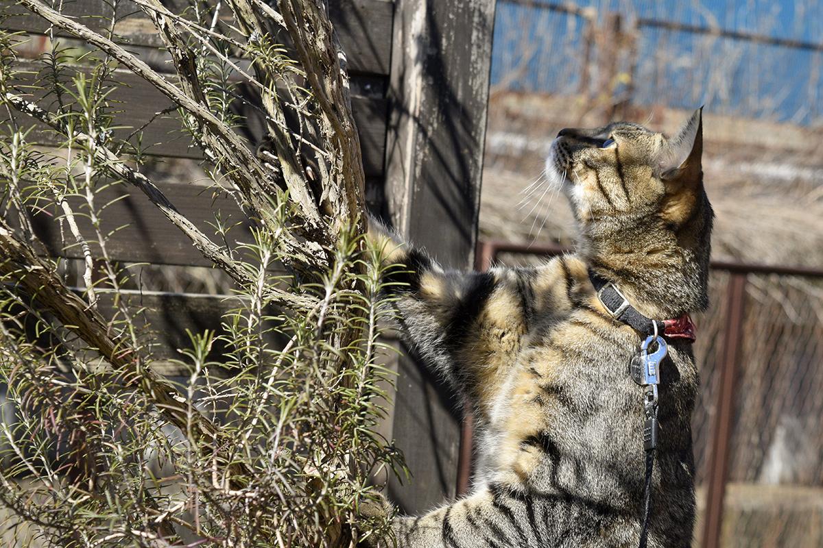 虫を見つけて獲ろうとするキジトラ猫の虎ノ介
