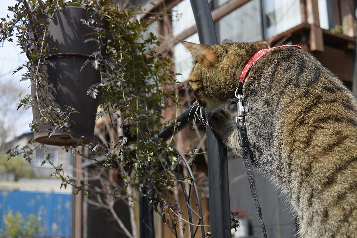 虫をみつけてフェンスにのぼったキジトラ猫の虎ノ介