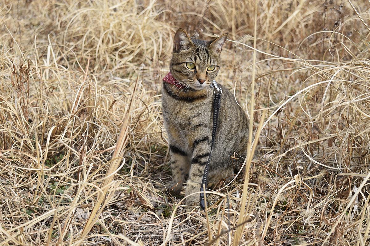 虫を探しに空き地にいくキジトラ猫の虎ノ介