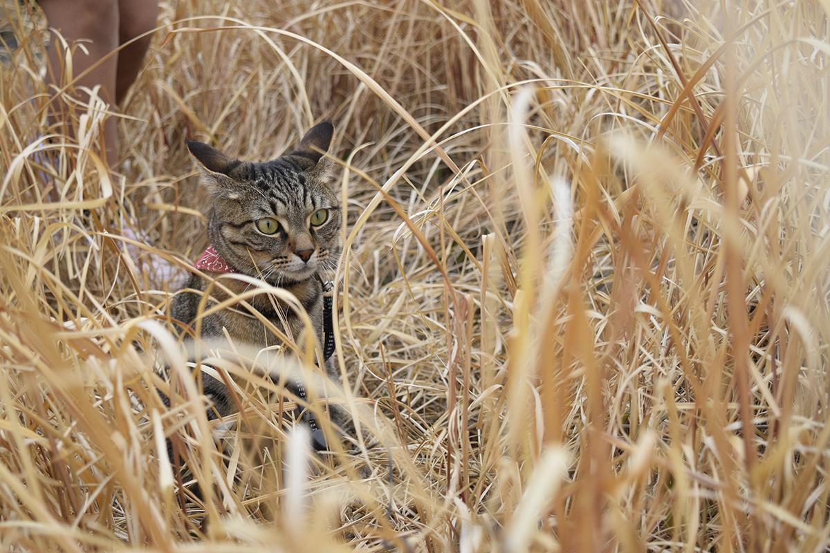 背後から子供に忍び寄られるキジトラ猫の虎ノ介