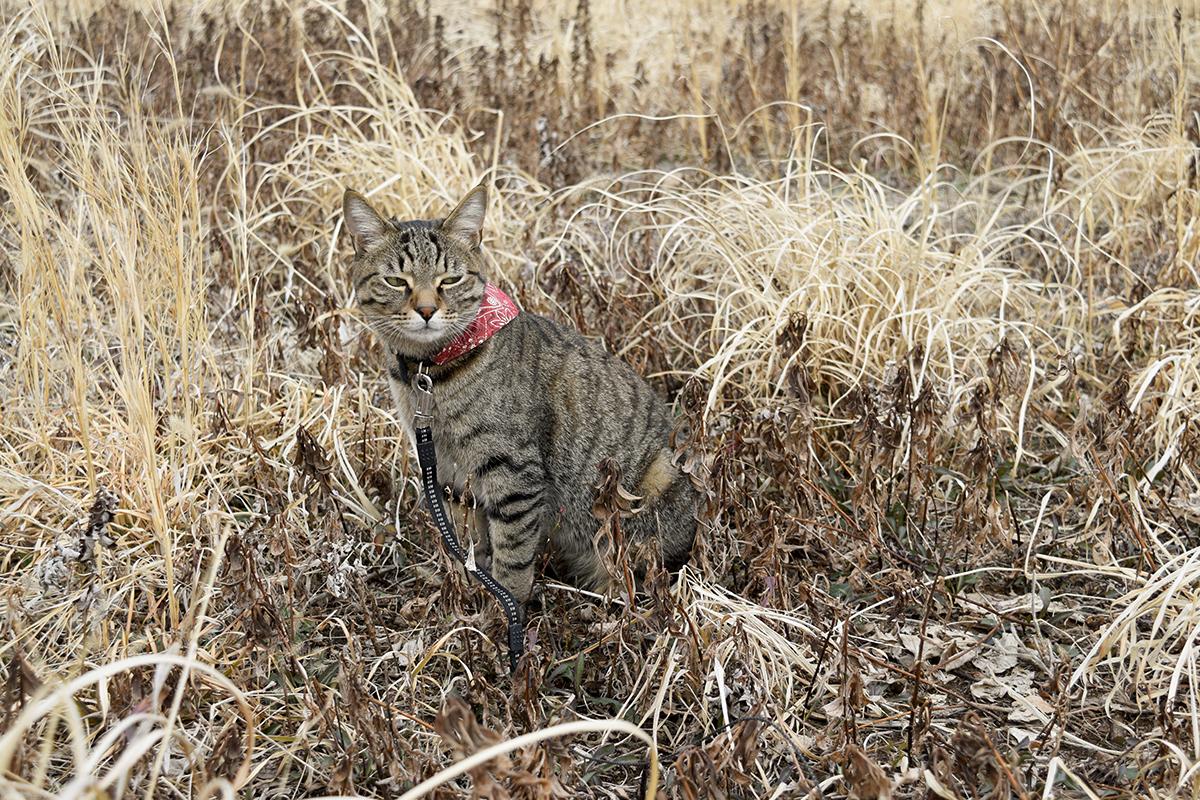 気分を害したキジトラ猫の虎ノ介