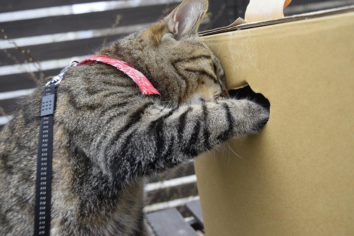 箱を覗くキジトラ猫の虎ノ介