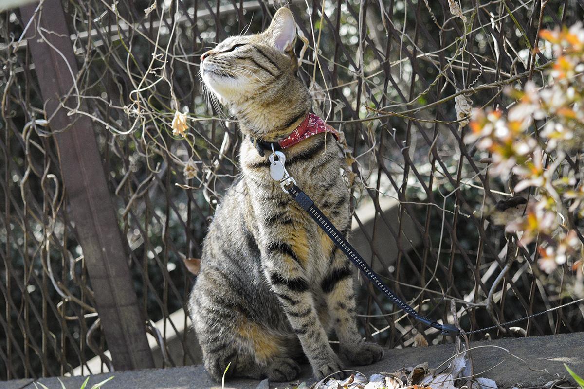 春の匂いを嗅ぐキジトラ猫の虎ノ介