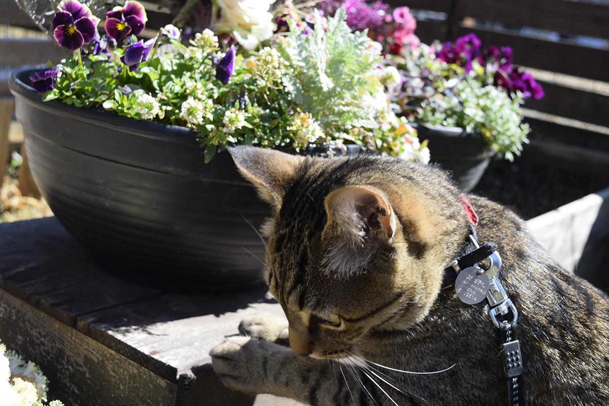 庭のパトロールをするキジトラ猫の虎ノ介