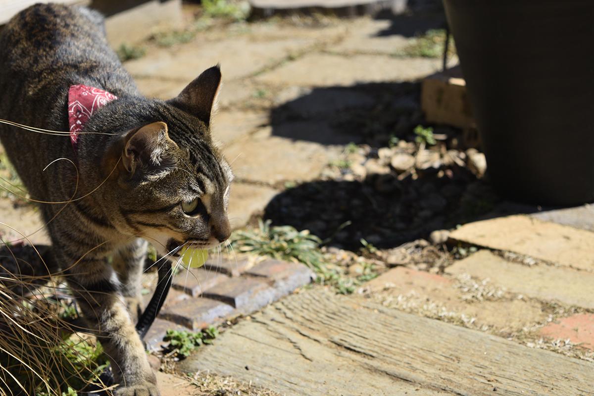 スーパーボールを発見したキジトラ猫の虎ノ介