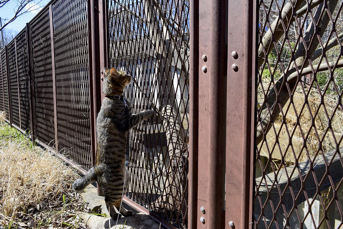 フェンスにつかまって向こうを眺めるキジトラ猫の虎ノ介