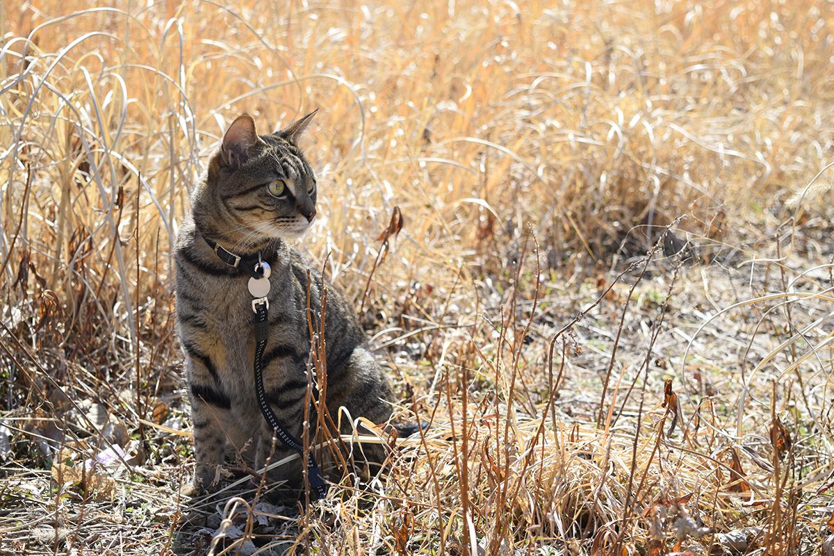 草むらでバッタを探すキジトラ猫の虎ノ介