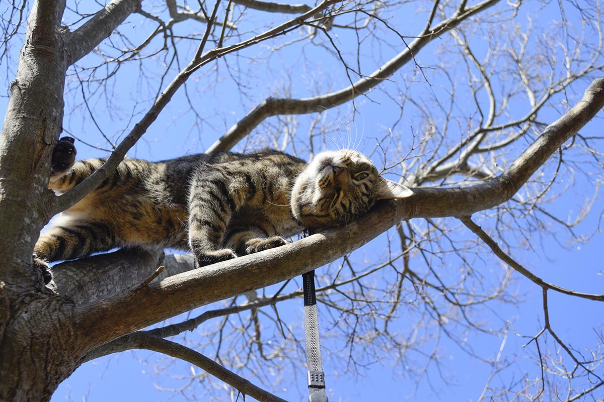 木の上で甘えるキジトラ猫の虎ノ介
