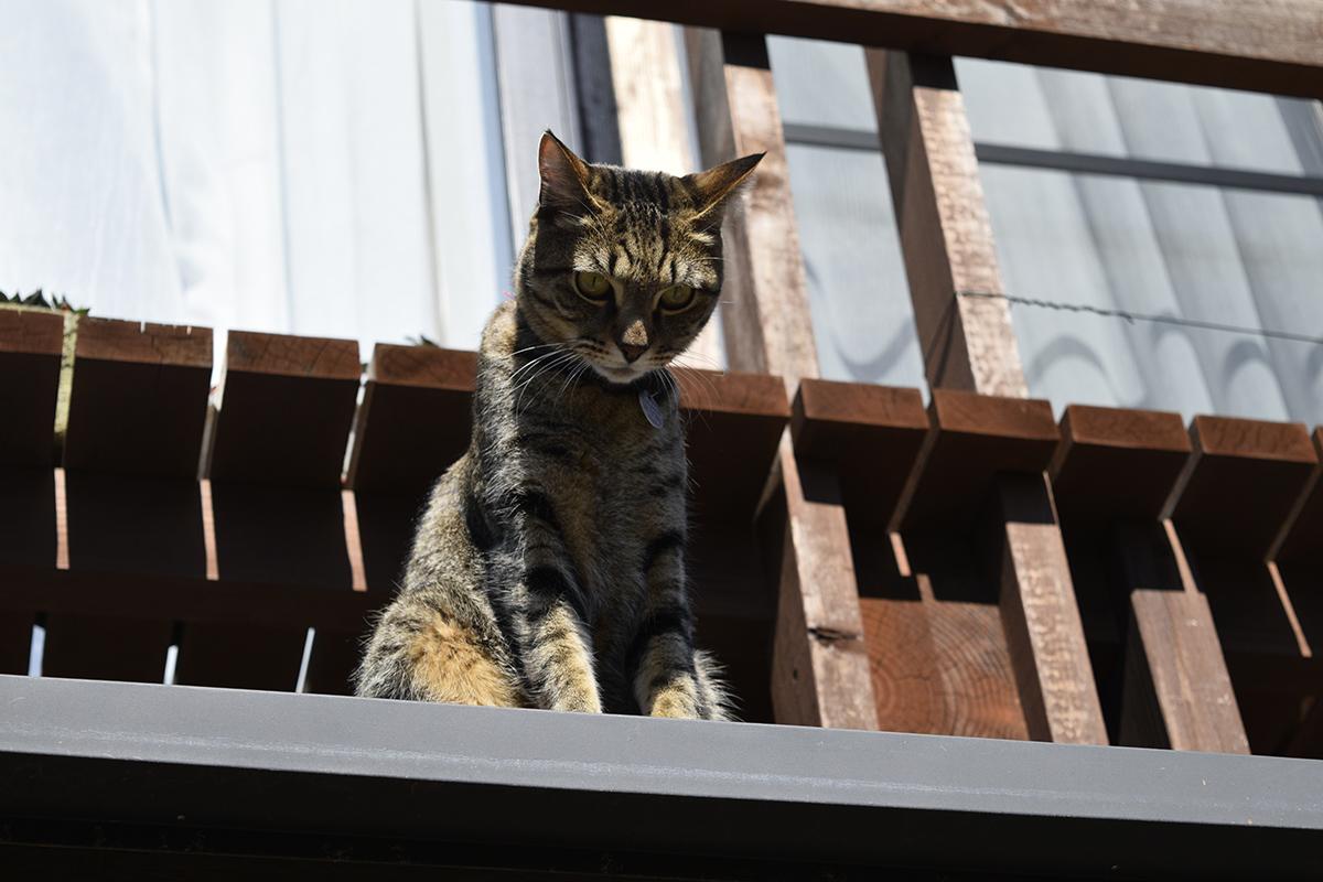 脱走するキジトラ猫の虎ノ介