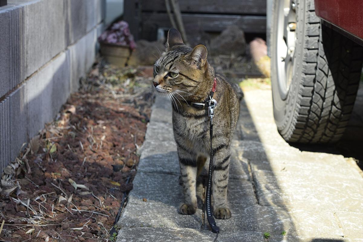 匂いをかぐキジトラ猫の虎ノ介