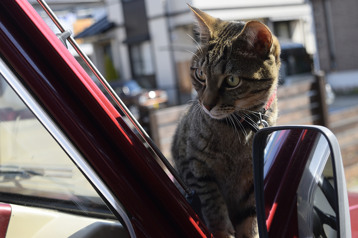 車をチェックするキジトラ猫の虎ノ介