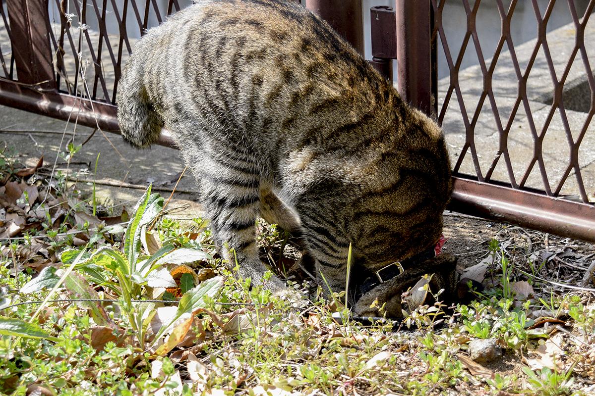 穴に顔をつっこむキジトラ猫の虎ノ介