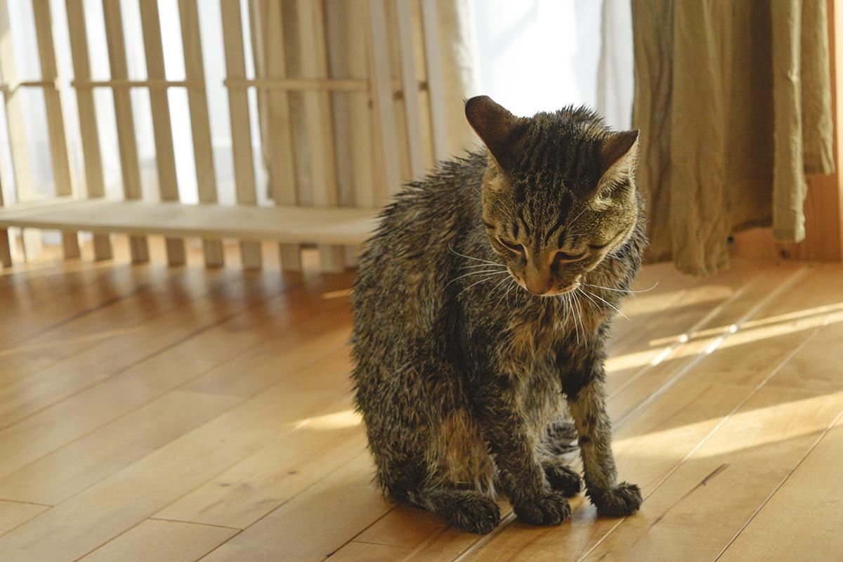 お風呂上がりのキジトラ猫の虎ノ介