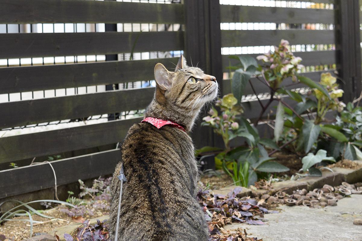庭で虫を追いかけるキジトラ猫の虎ノ介