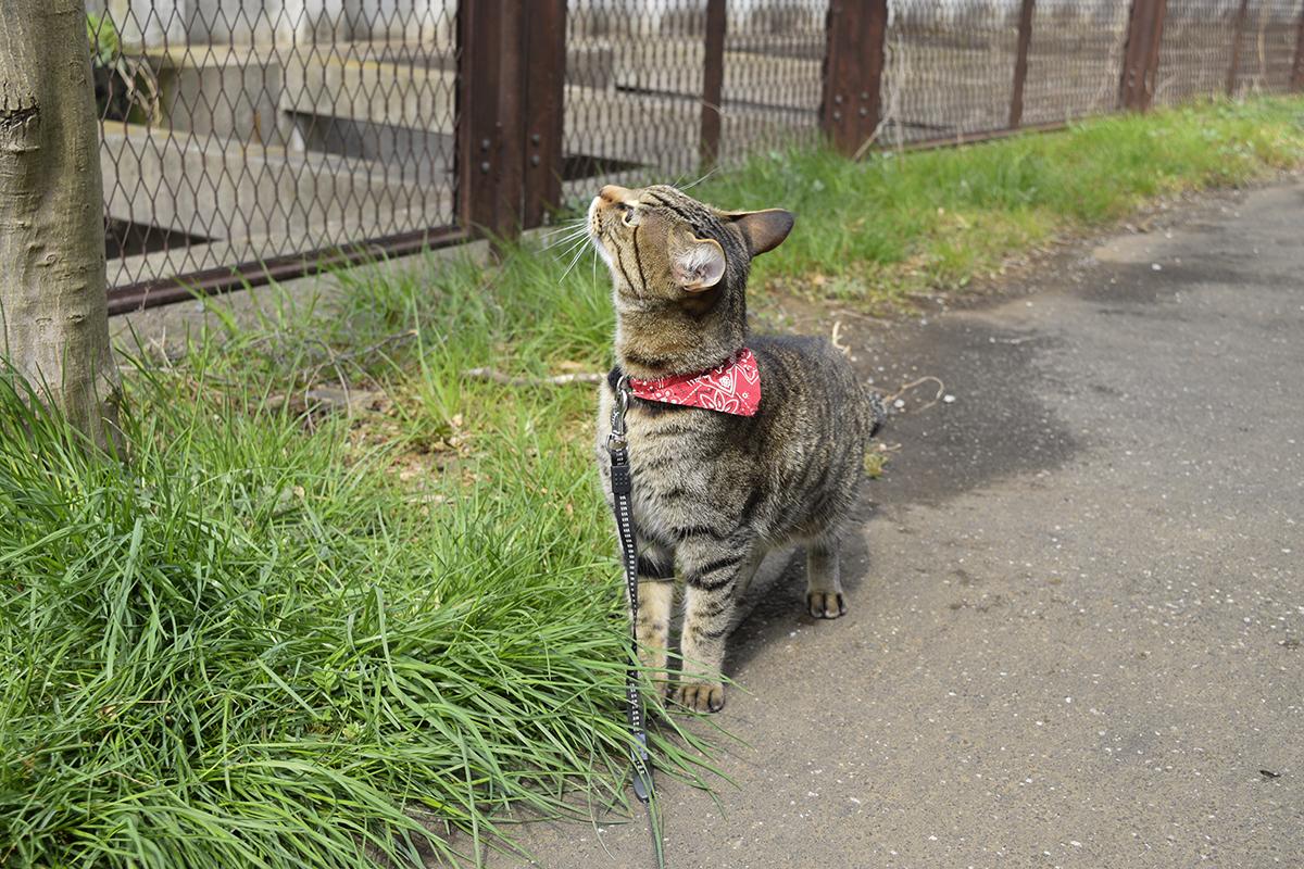 散歩道で虫をおいかけるキジトラ猫の虎ノ介