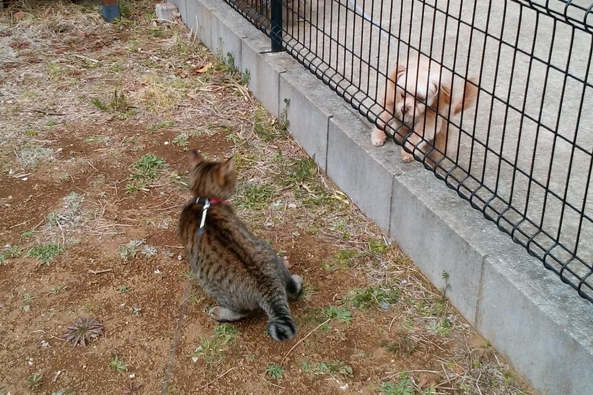 お隣のルナくんに自分から近づいていくキジトラ猫の虎ノ介