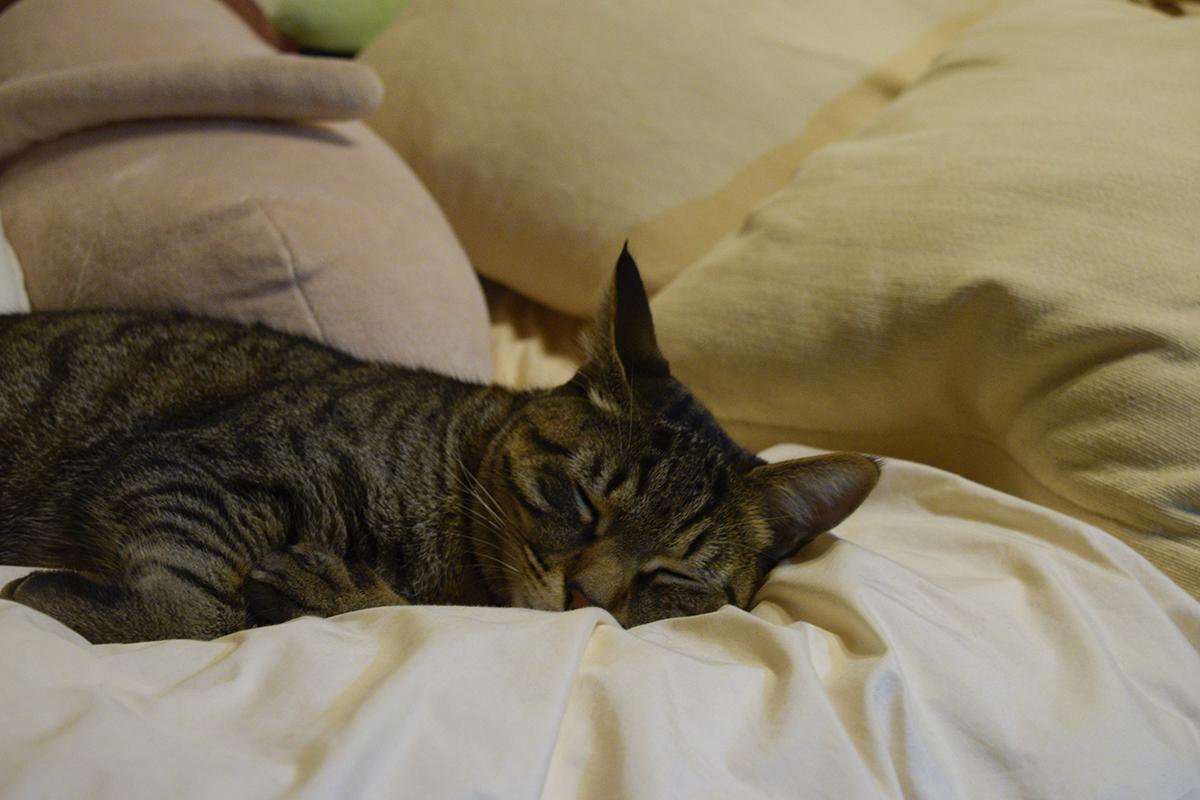 病院からかえってきてぐったりお昼寝のキジトラ猫の虎ノ介
