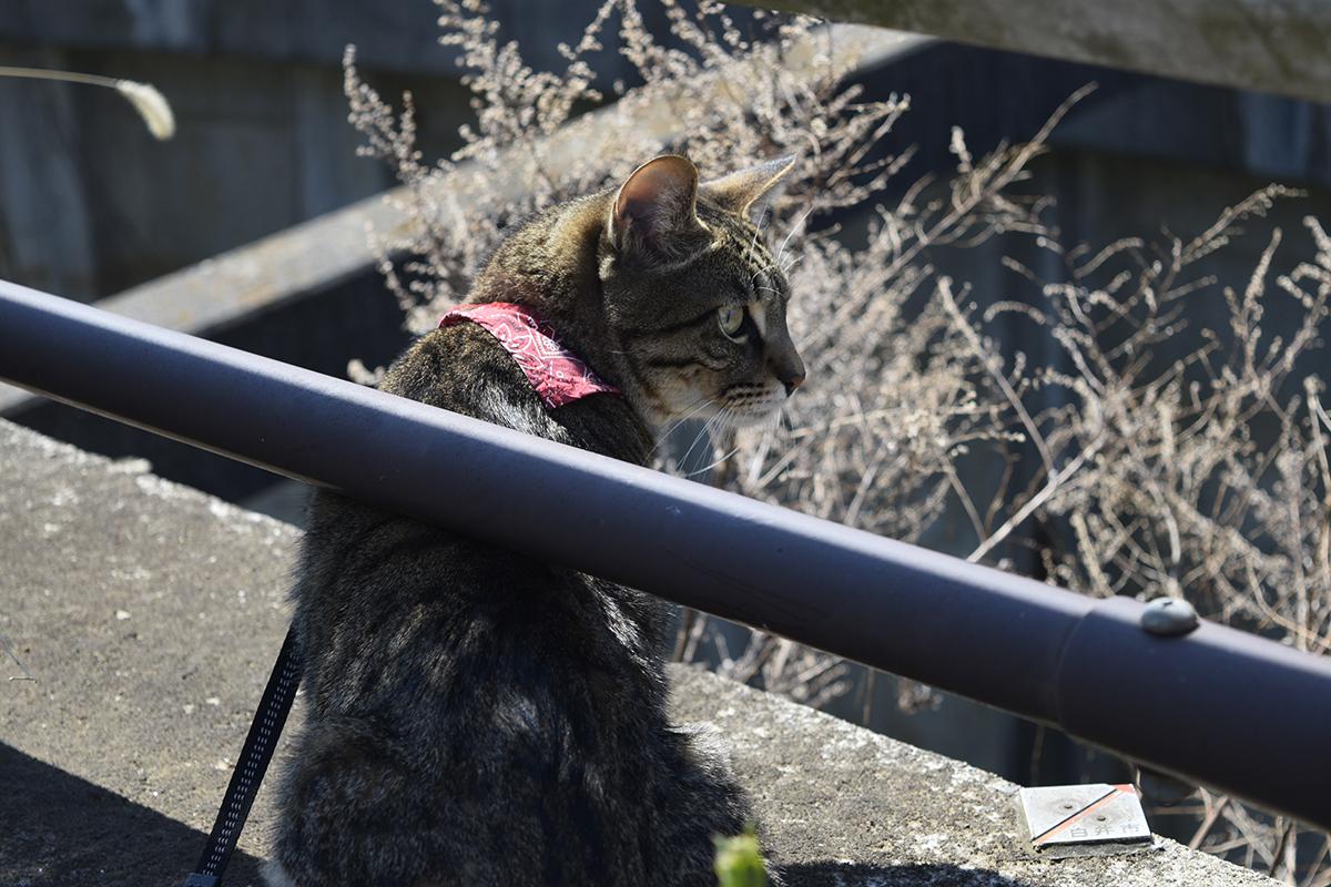ガードレールの下から向こうを覗くキジトラ猫の虎ノ介