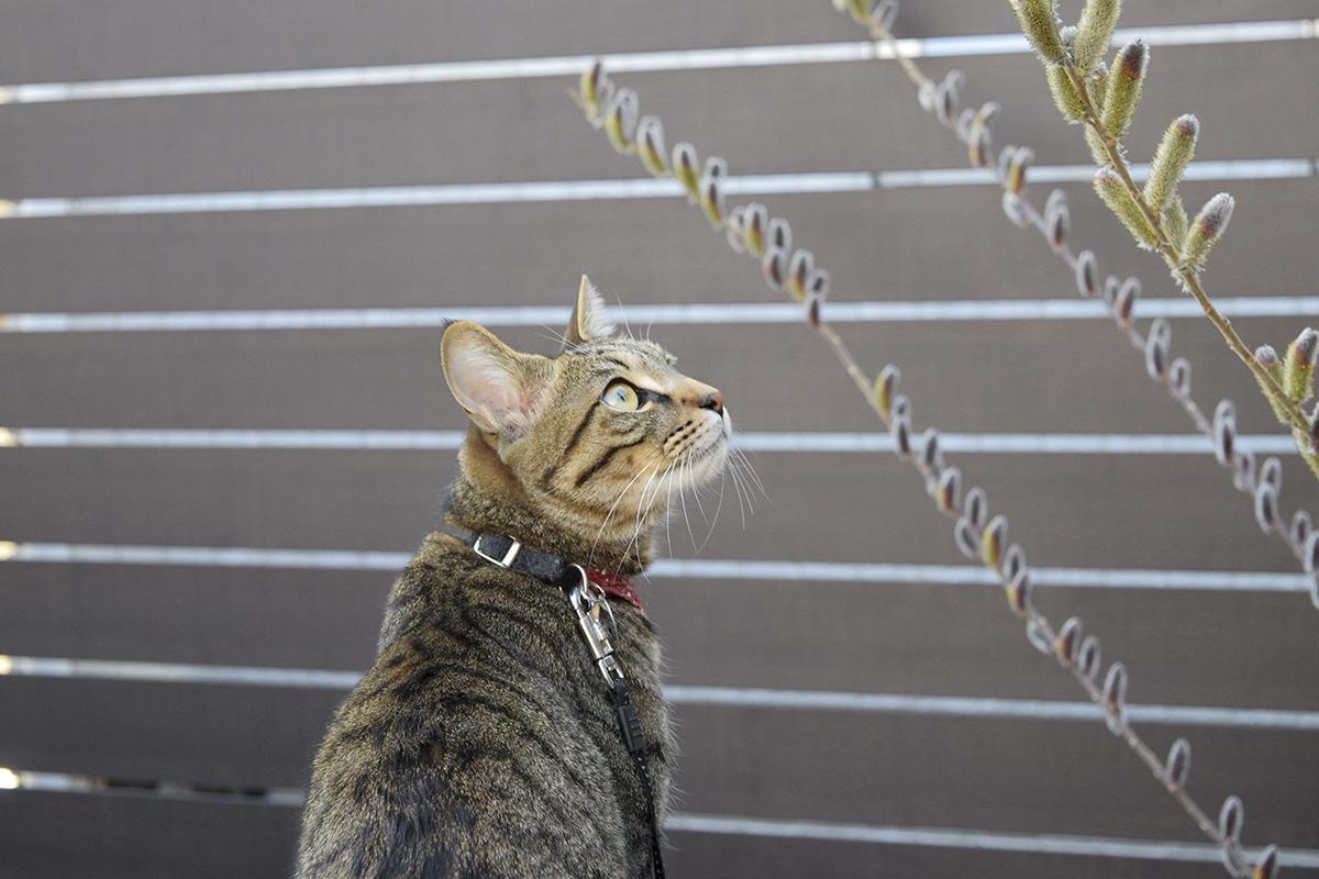 蜂を見つめるキジトラ猫の虎ノ介