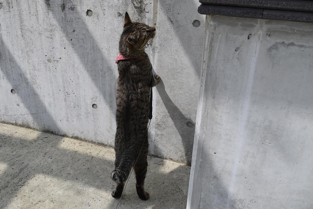 お隣を覗くキジトラ猫の虎ノ介