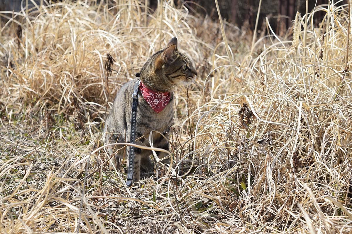 蝶々を見に行ったキジトラ猫の虎ノ介