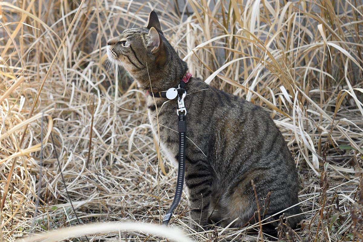 蝶をおいかけて草むらにはいったキジトラ猫の虎ノ介