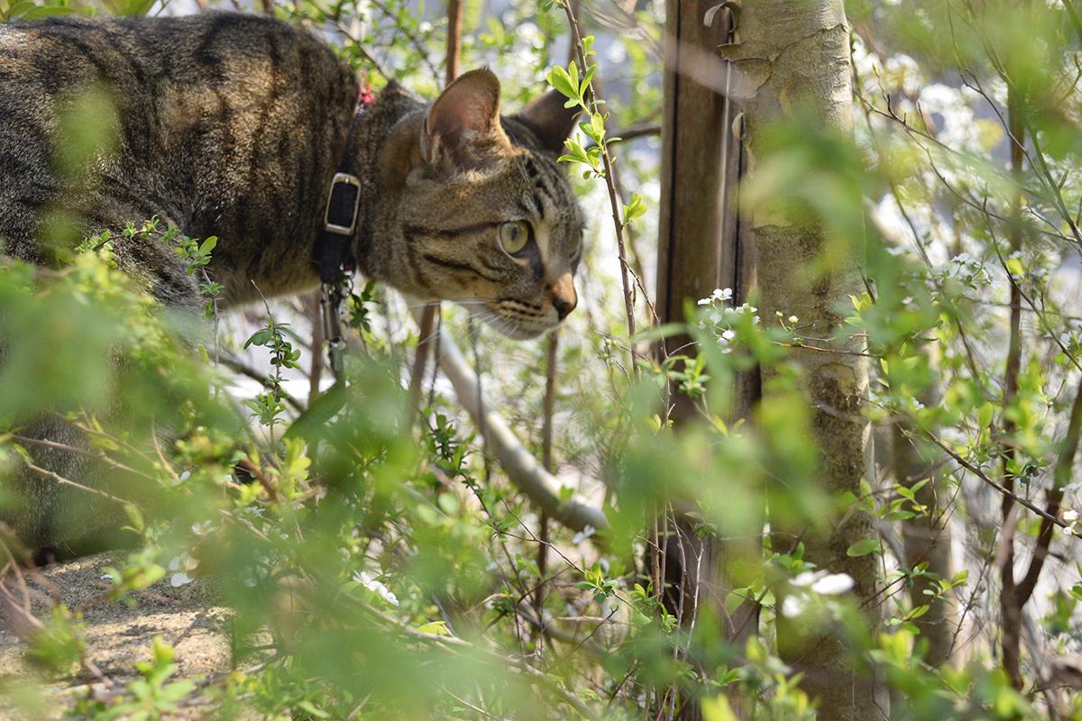 蜂をみつけて捕まえようとするキジトラ猫の虎ノ介