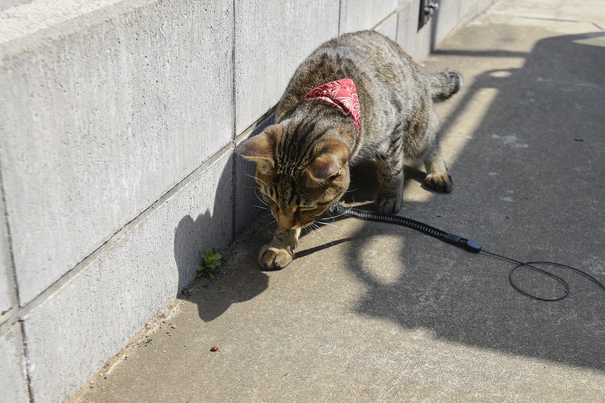 テントウムシをおいかけるキジトラ猫の虎ノ介