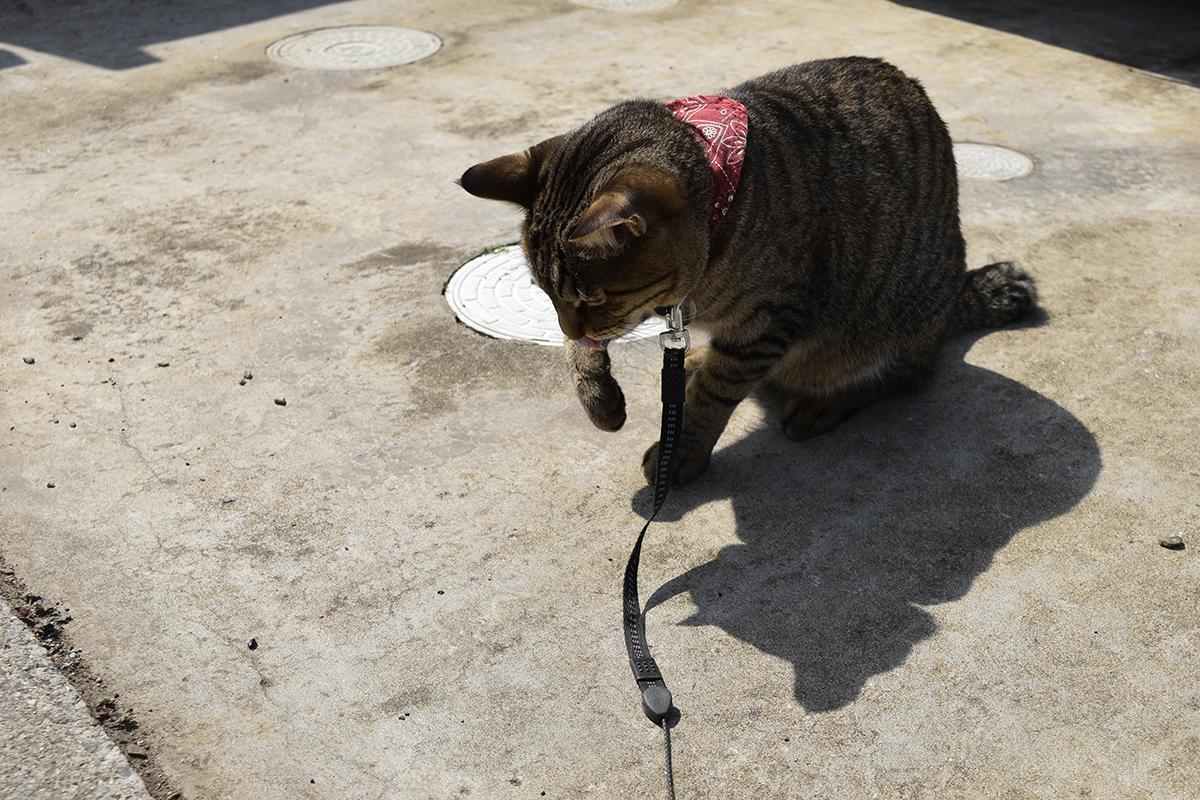 別の虫をみつけたキジトラ猫の虎ノ介