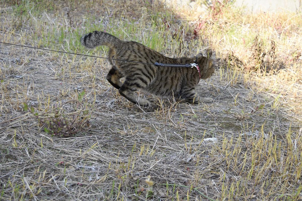 着地するキジトラ猫の虎ノ介
