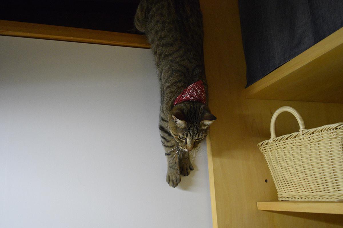 壁を滑り落ちるキジトラ猫の虎ノ介