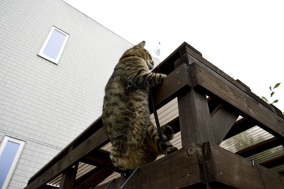 小屋をよじ登るキジトラ猫の虎ノ介