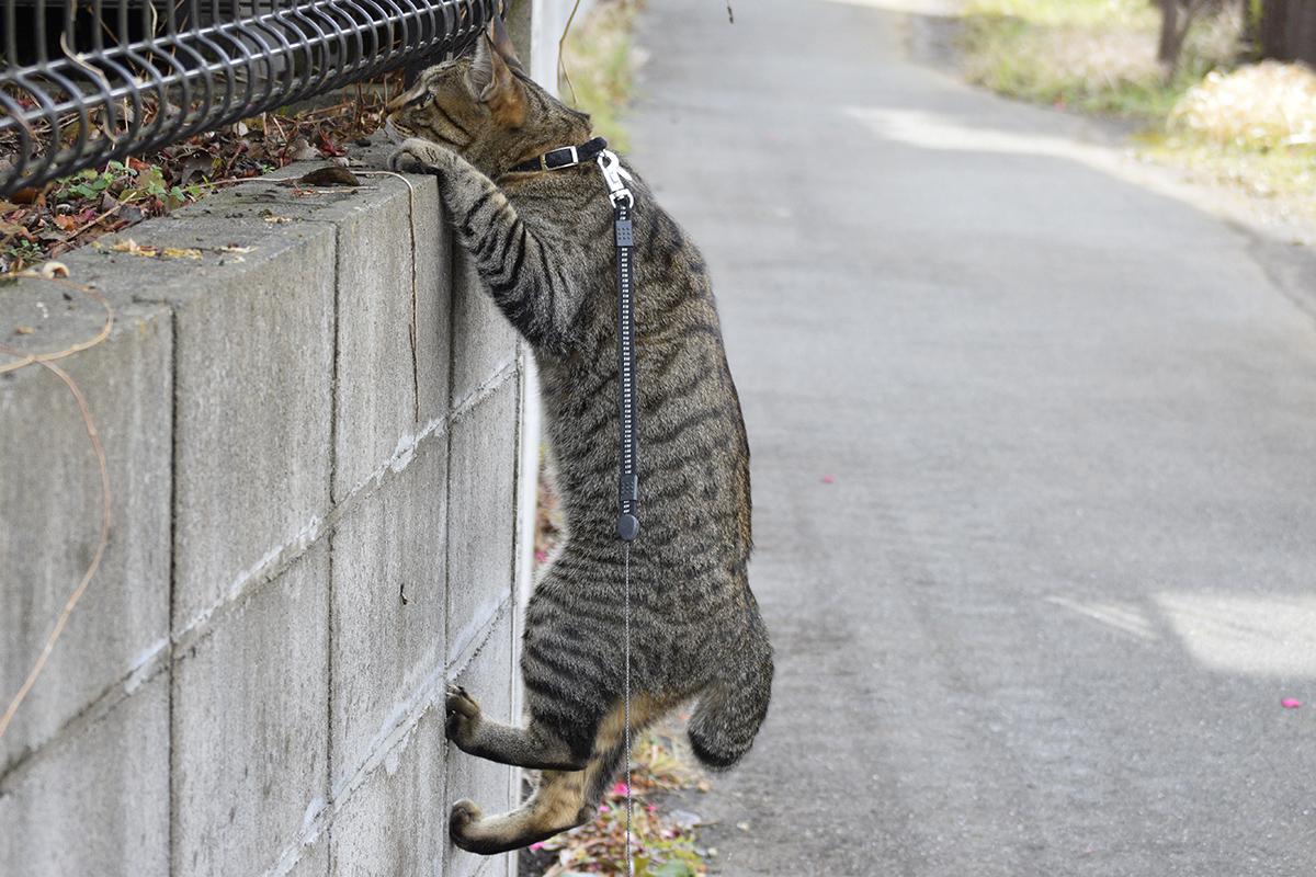 ブロック塀にしがみつくキジトラ猫の虎ノ介