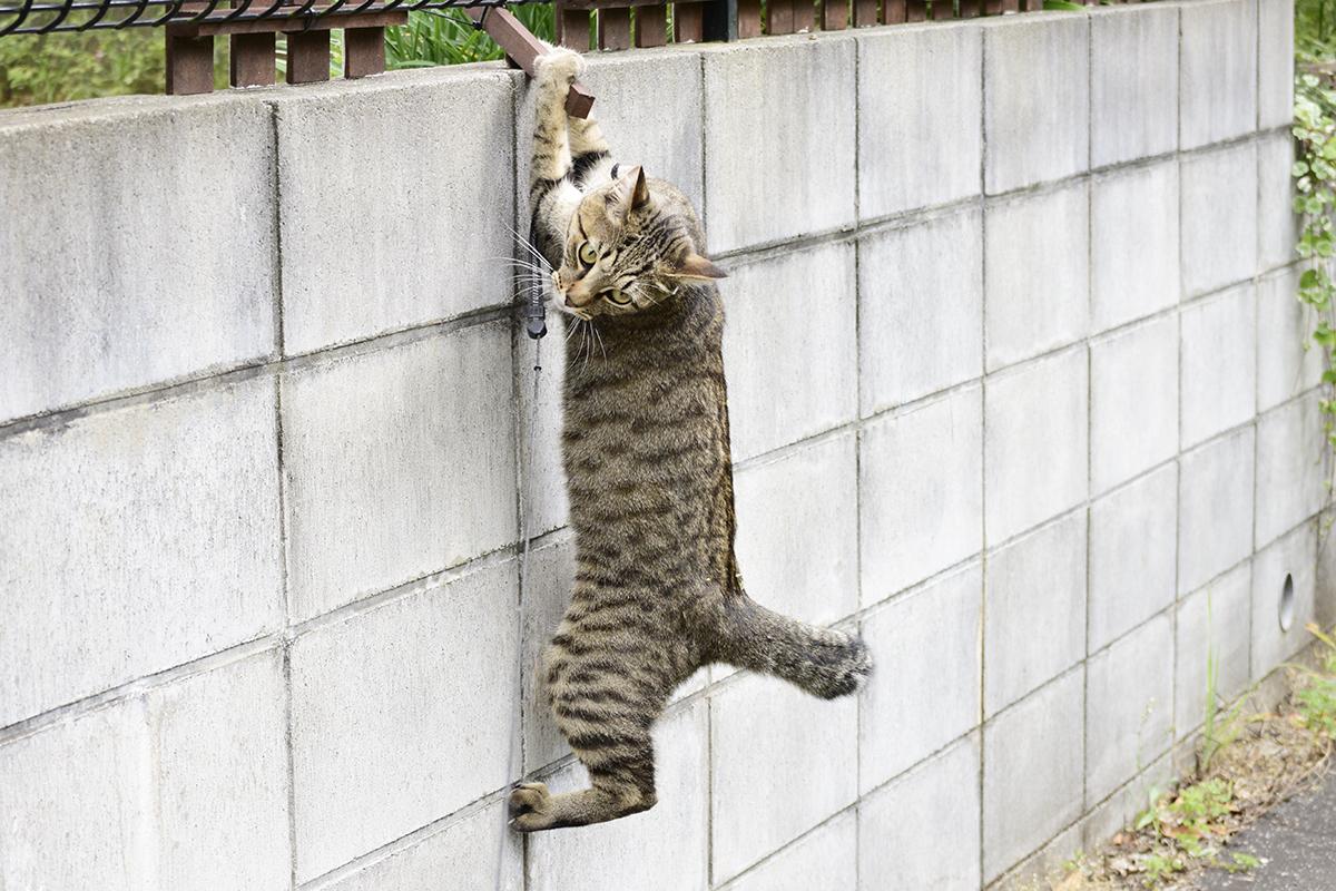 木の棒にぶら下がるキジトラ猫の虎ノ介