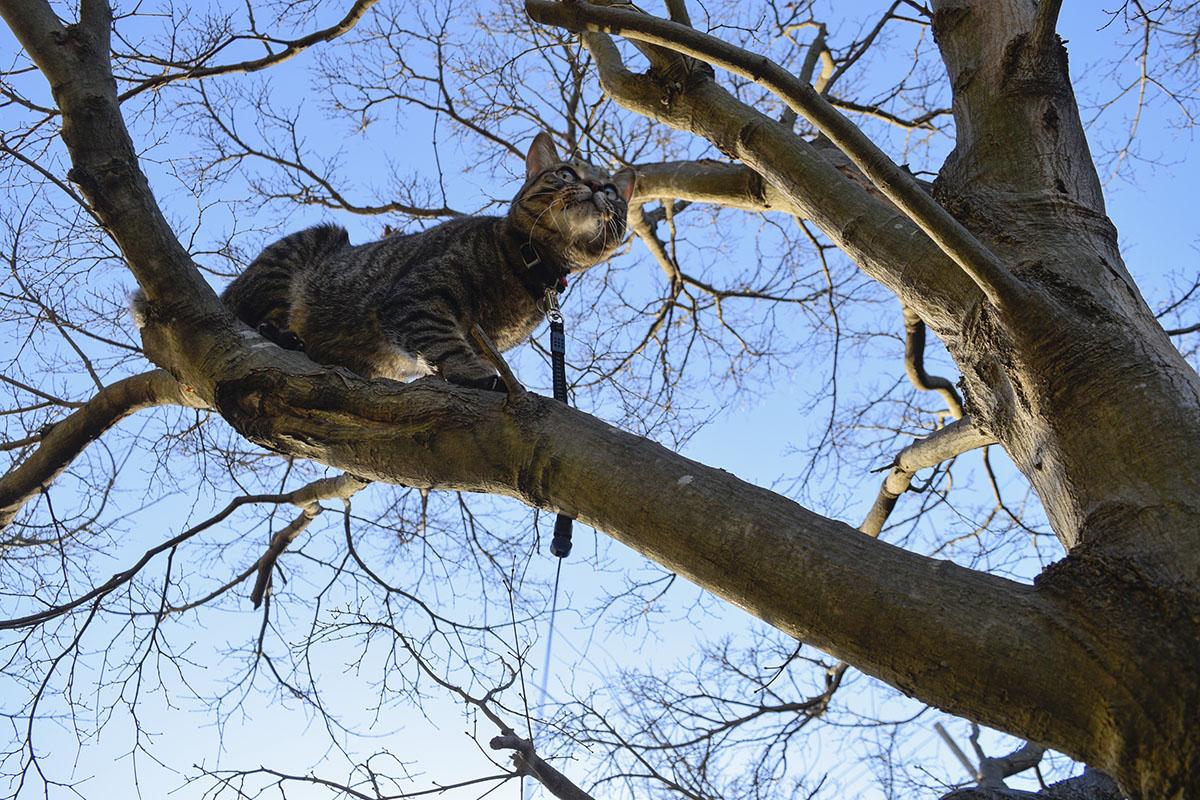 木の枝の上を歩くキジトラ猫の虎ノ介