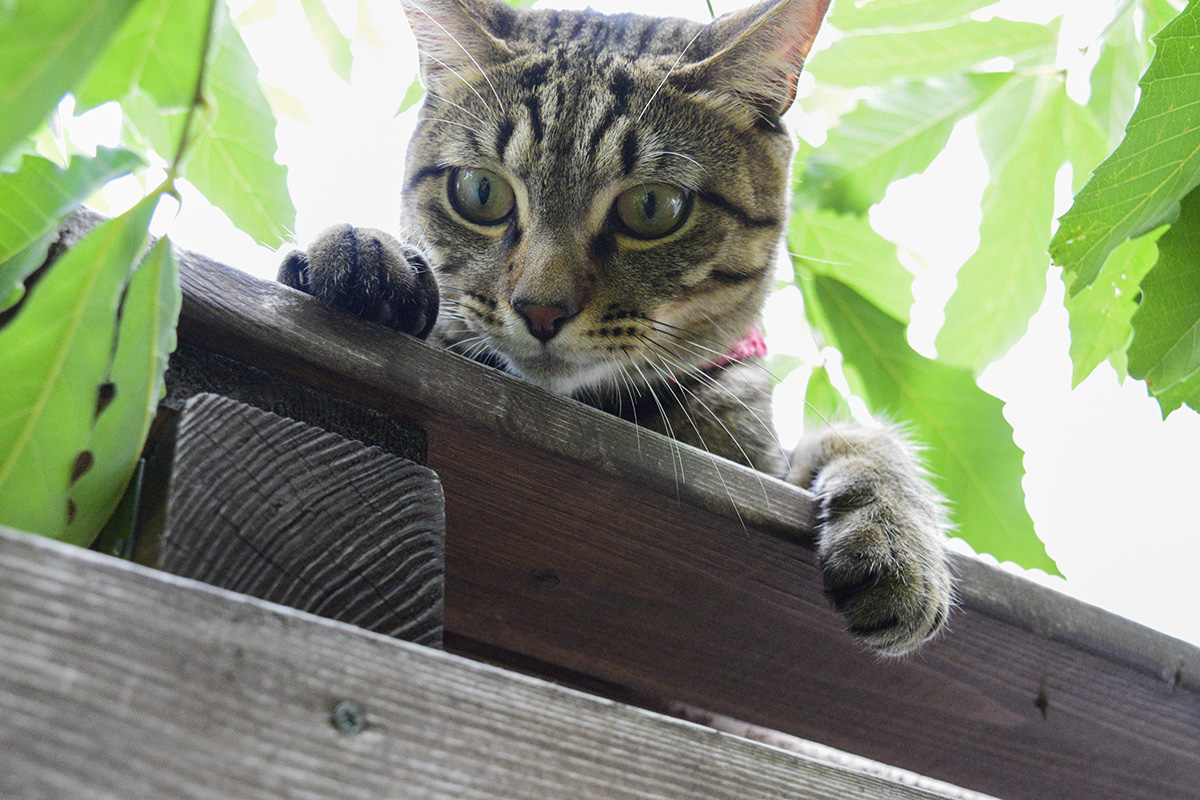 手根球を支柱にするキジトラ猫の虎ノ介
