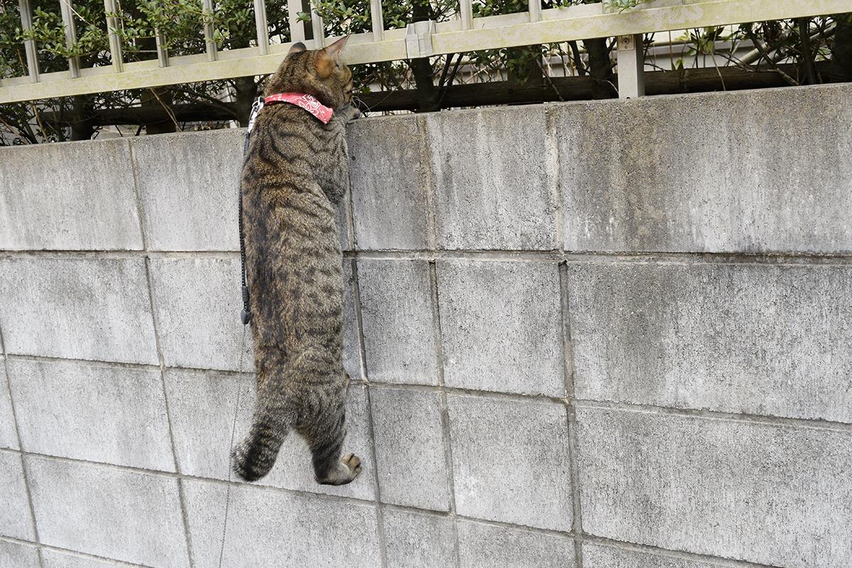鳥を発見して塀にぶら下がるキジトラ猫の虎ノ介