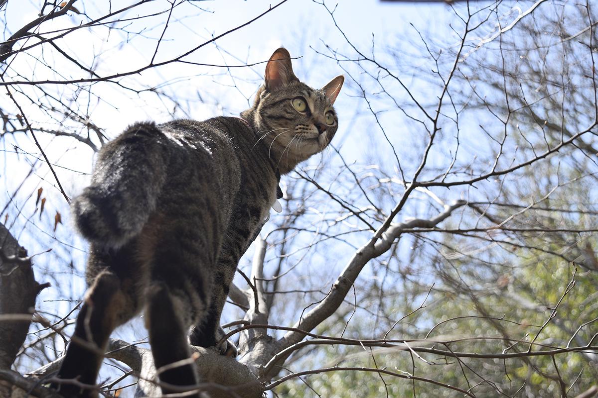 木にのぼって鳥をみるキジトラ猫の虎ノ介