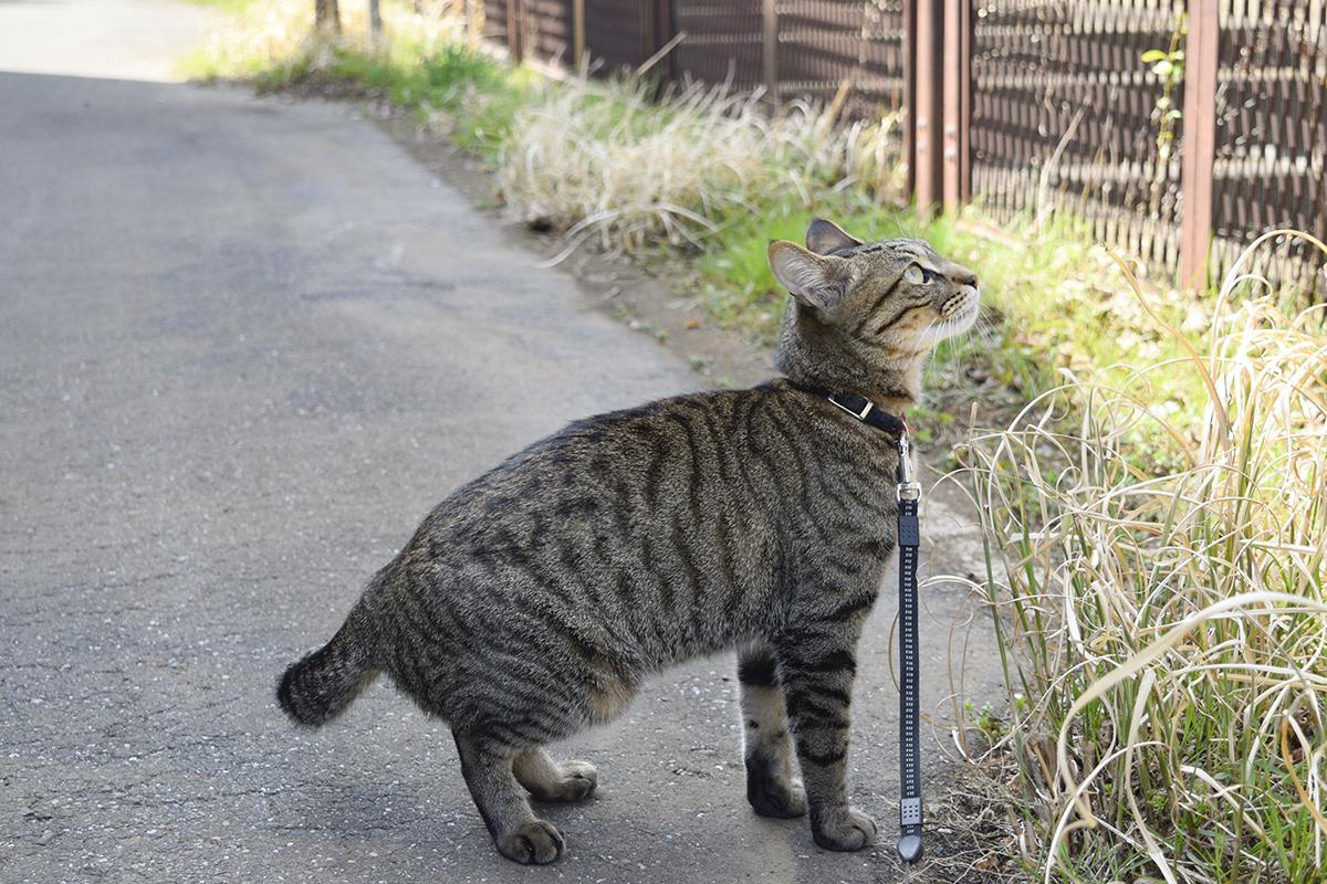 お散歩に出発するキジトラ猫の虎ノ介