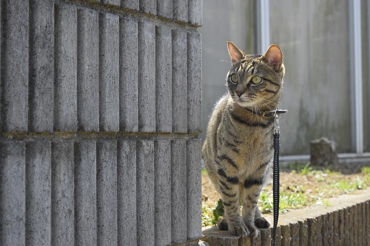 小学生をみるキジトラ猫の虎ノ介