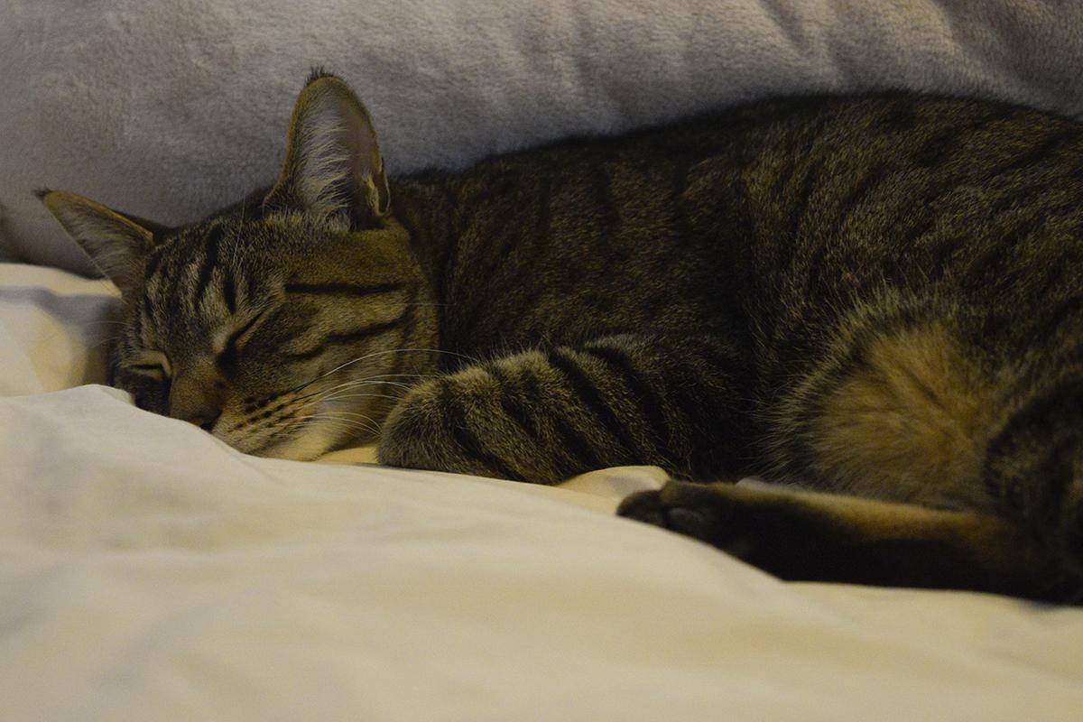 再び眠りにつくキジトラ猫の虎ノ介