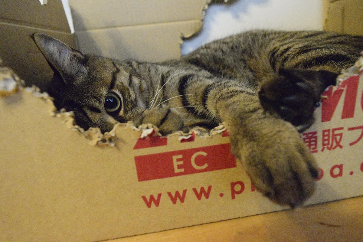 カスタマイズした段ボールで寝るキジトラ猫の虎ノ介