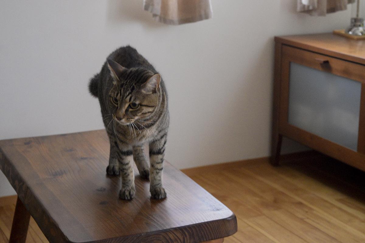 人間とおいかけっこをするキジトラ猫の虎ノ介